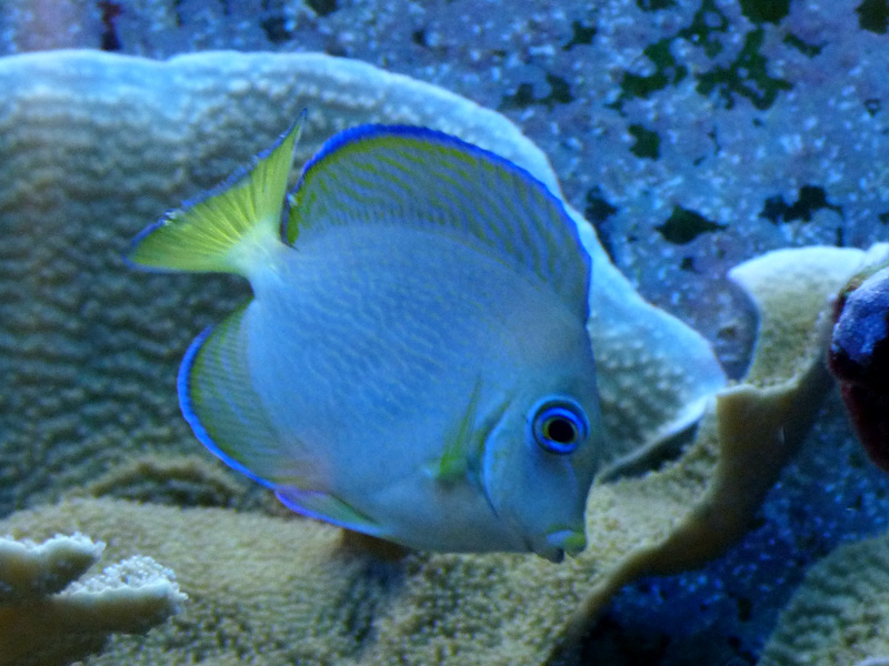 Acanthurus coeruleus reef central online community for Blue tang fish facts