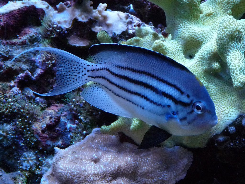 reef safe angel fish aquarium advice aquarium forum