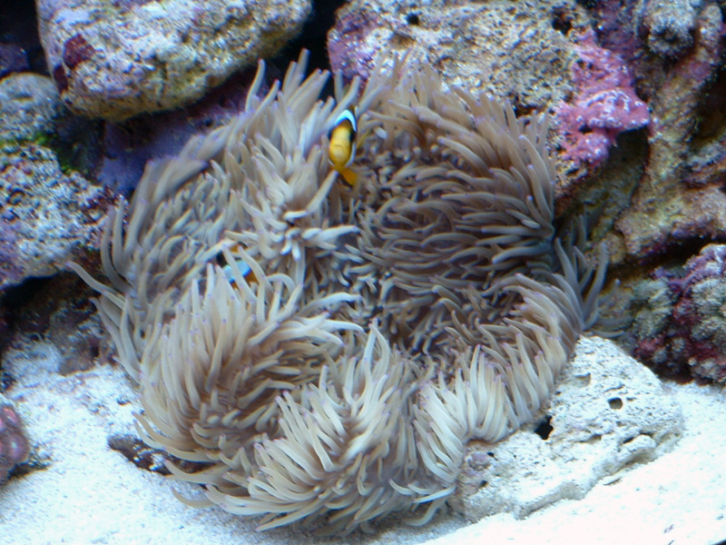 Sebae Anemone Questions White Anemone Saltwater